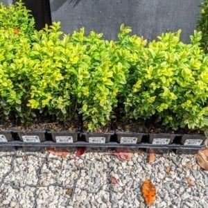 Buxus Hedging - Small