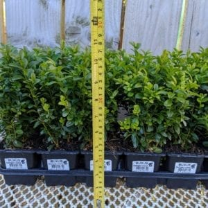 Box Hedging - Small