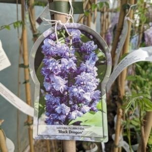 Wisteria sinensis Black Dragon