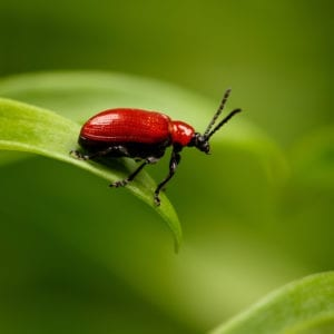Red Lily Beetle