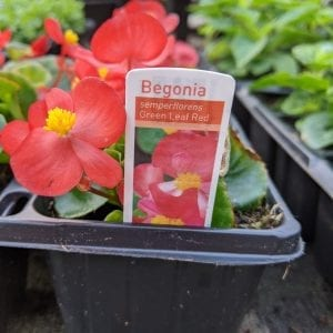 Begonia semperflorens - Green Leaf Red