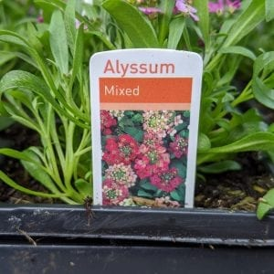 Alyssum - Mixed