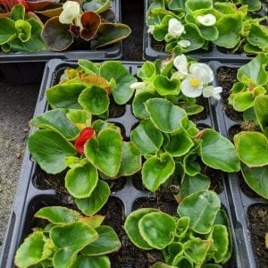 Begonia semperflorens - Green Leaf Mixed