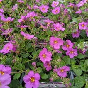 Bacopa 'Gulliver Pink'