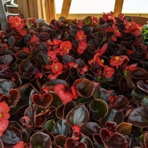 Begonia Bronze Leaf Red